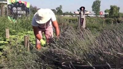 nitelik -  - Kent Bostanları'nda lavantalar hasat edildi