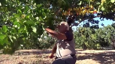 26 yıl önce hobi olarak diktiği fıstık ağaçları gelir kaynağı oldu