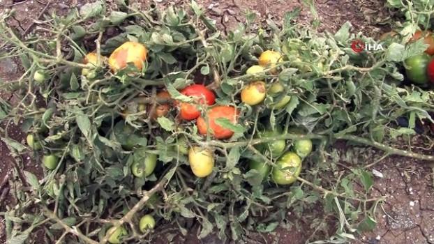 ceviz agaci -  Erzincan'da dolu yağışı sebze ve meyveyi vurdu